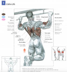 illustration from strength training anatomy of pull-ups