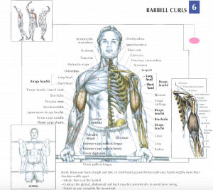illustration from strength training anatomy review of barbell curls