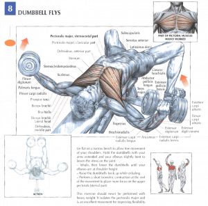 illustration from strength training anatomy of dumbbell flyes