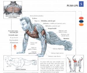 illustration from strength training anatomy of push-ups