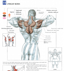 illustration from strength training anatomy review of upright rows